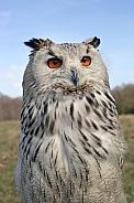 Western Siberian eagle-owl (Bubo bubo Sibiricus)