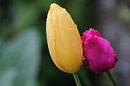 Close-up of wet tulips