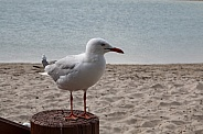 Close up of seagull