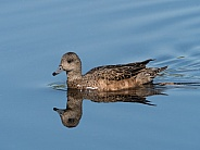 American Wigeon Female Duck Swimming in Alaska