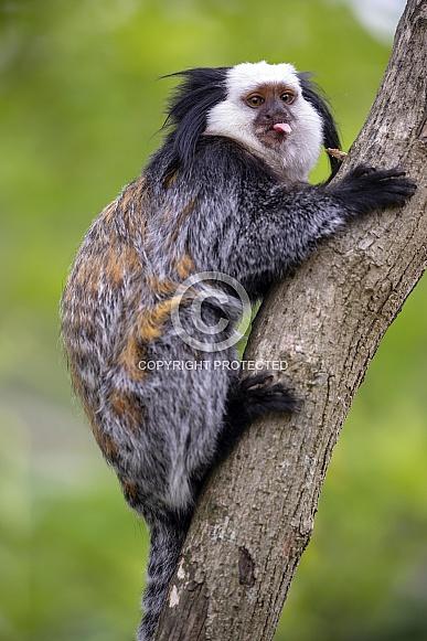Callithrix Geoffroyi monkey