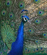 Peacock Indian