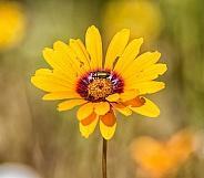 Ursinia calenduliflora (Parachute Daisy)