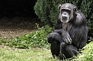 Chimpanzee Sitting Upright Full Body