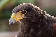 Harris' Hawk Portrait
