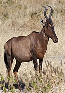 Red Hartebeest - Namibia