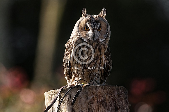 Long Eared Owl Full Body Close Up
