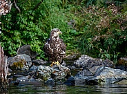 Young bald eagle fishing from a rock by the water