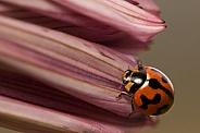 Transverse Ladybird on petals