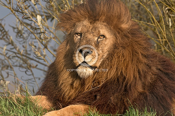 Male African Lion