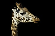 Rothschild Giraffe Close Up, Black background