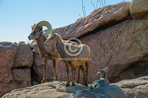 Bighorn Sheep Family