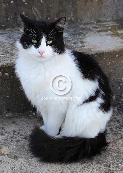 Black and White Tuxedo Longhaired Cat