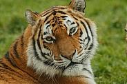 Amur Tiger Close Up Looking Over Shoulder