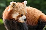 Red Panda Looking Sideways