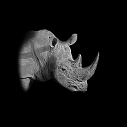 White Rhino Portrait