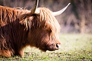 Highland Cow lying on the grass