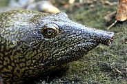 African Softshell Turtle - Trionyx triunguis