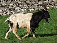 Black & White Feral Goat
