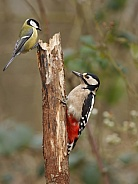 A great spotted woodpecker and great tit