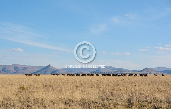 Black Wildebeest habitat