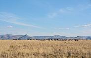 Black Wildebeest habitat