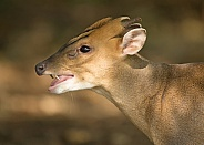 Reeve's Muntjac Showing Teeth