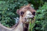 Camel (Camelus bactrianus)