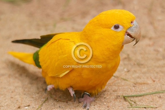 Golden Conure close up