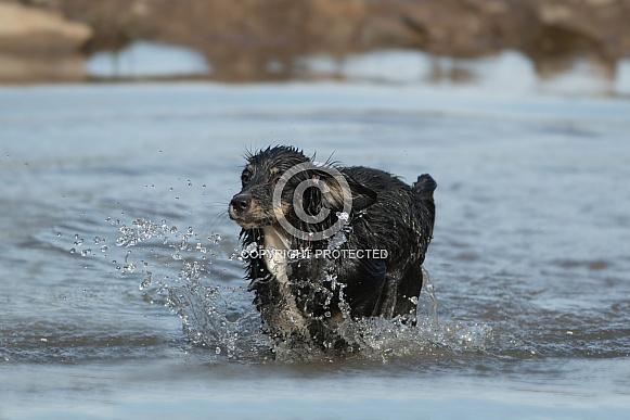 Mongrel Dog (origin unknown) Enjoying The Water