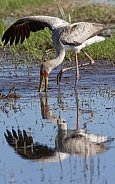 Yellow-billed Stork - Okavango Delta - Botswana