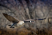 Canada Goose in flight over pond