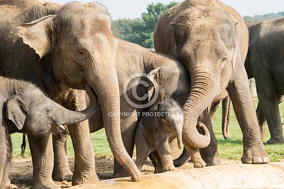 Asian Elelphants Family