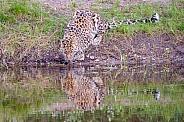 Amur Leopard - Male