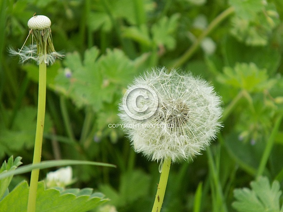 Dandelion seed head full