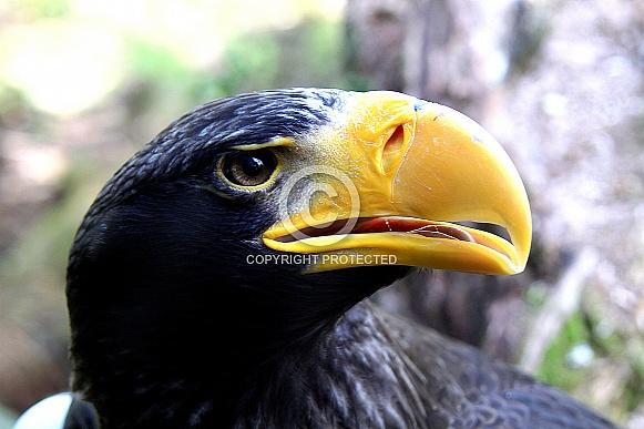 Steller's Sea Eagle cu