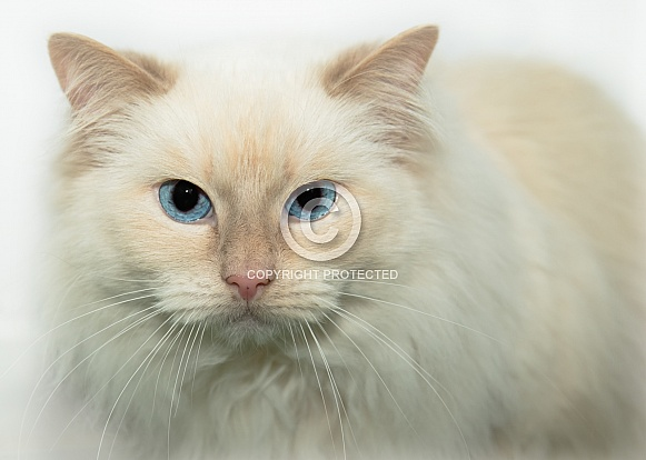 Long-haired Cream Cat