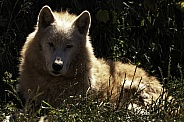 Arctic Wolf Lying Down