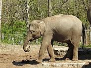 Juvenile Asian Elephant