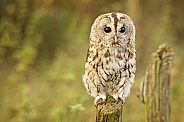 Tawny Owl Perched
