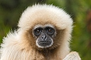 Female Lar Gibbon Face Shot Close Up