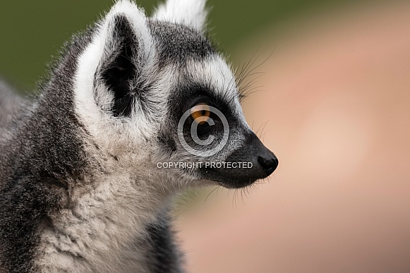 Ring Tailed Lemur Side Profile