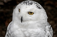 Snowy Owl Face Shot Looking To The Side