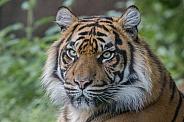 Sumatran Tigress (Panthera Tigriss Sumatrae)