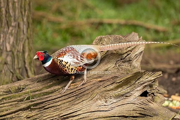 Male Common Pheasant on Log