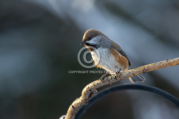 Boreal Chickadee Perched in the Light