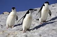 Chinstrap Penguins - Antarctica