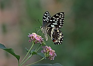 Christmas Swallowtail