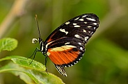 Butterfly - Tiger Longwing
