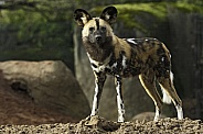 African Painted Dog Full Body Standing Tall